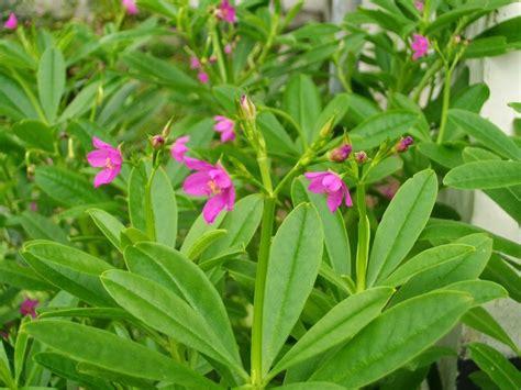 Ginseng Jawa Per Kilo khasiat daun gingseng jawa untuk kesihatan anak pokok ginseng jawa untuk dijual murah