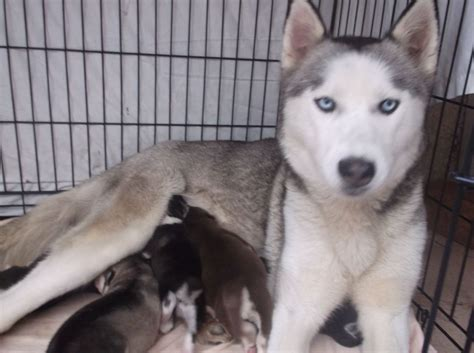 siberian husky puppies for sale in colorado stunning siberian husky puppies for sale aldershot hshire pets4homes