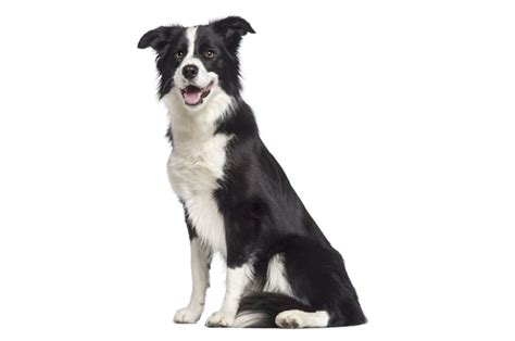 Use Borders Gift Card On Amazon - border collie gifts australia gift ftempo