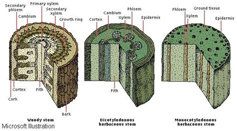 cross section of a woody stem plant life