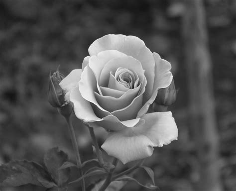 black and grey rose and black and grey photography pesquisa black