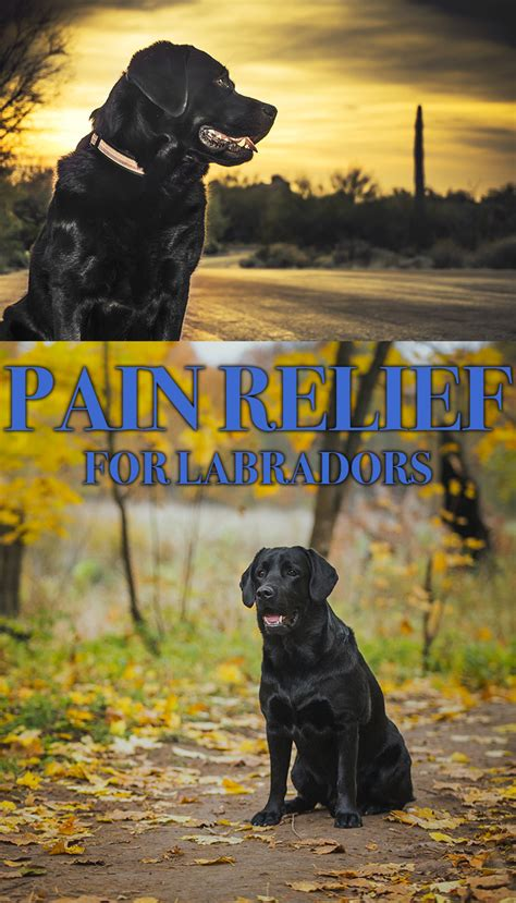 amantadine for dogs relief for dogs the labrador site