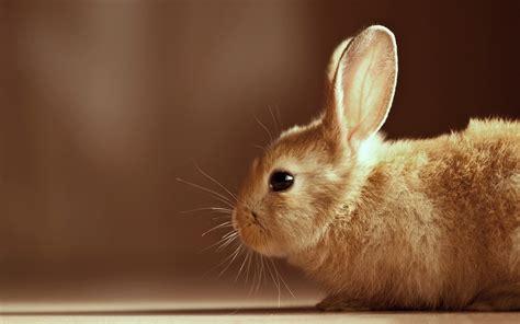 brown wallpaper android bunnies hd  wallpaper
