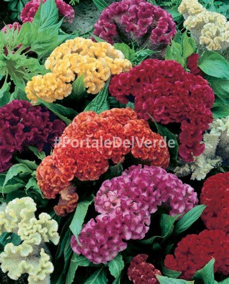 fiore cresta di gallo scheda botanica celosia cristata celosia cresta di gallo