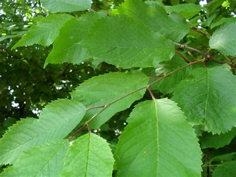 natureplus are these leaves from a cherry tree