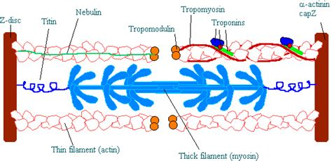 filament diagram image gallery myosin diagram