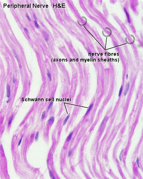 lanterman motors file peripheral nerve histology 03 jpg embryology