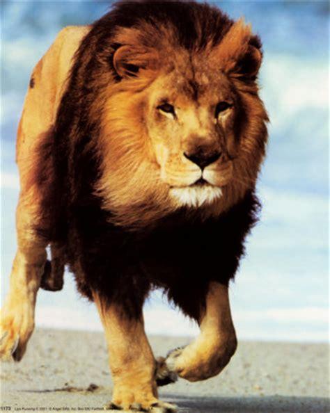 pictures foto gambar singa  raja hutan