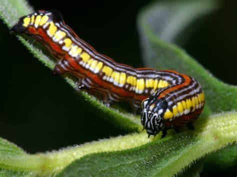 Caterpillar Brown cucullia convexipennis brown hooded owlet moth