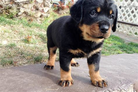 rottweiler puppies for sale canberra miniature rottweiler grown grown german rottweiler breeds picture