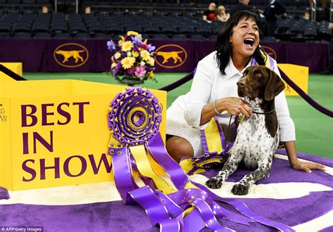 best german shoo german haired pointer takes the best in show ribbon