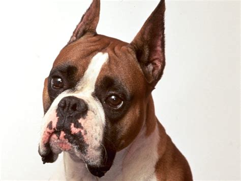 boxer puppies boxer dogs breeds pets