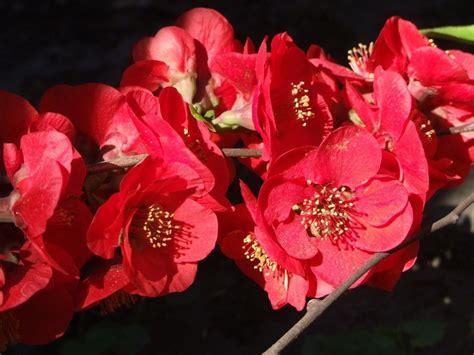 imagenes de rosas japonesas im 225 genes de flores japonesas imagui