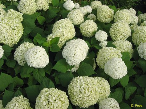 Hydrangea Planter by Plant Guide Hydrangea Arborescens Annabelle