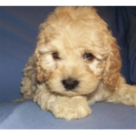 cockapoo puppies for sale in sc cockapoo breeders and kennels freedoglistings page 2