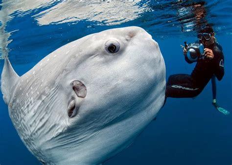 fotografo marino captura imagenes de  pez luna gigante schnauzicom