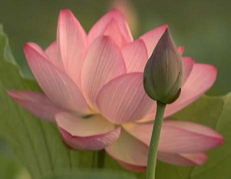 Lotus Information In Lotus Flower Facts All Amazing Facts