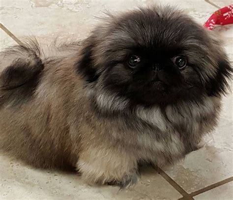 yorkie pekingese puppies 154 best images about pekingese puppys on fashion search and names