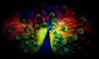 colorful peacock peacock wallpapers