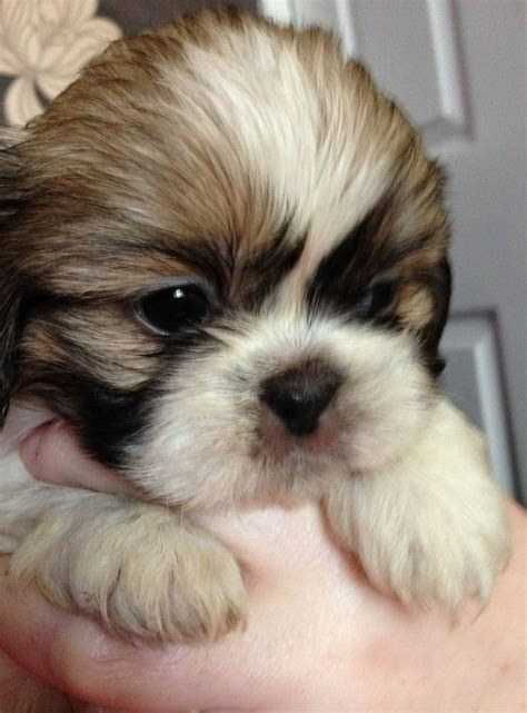 mini shih tzu breeders micro teacup shih tzu puppies memes trending space