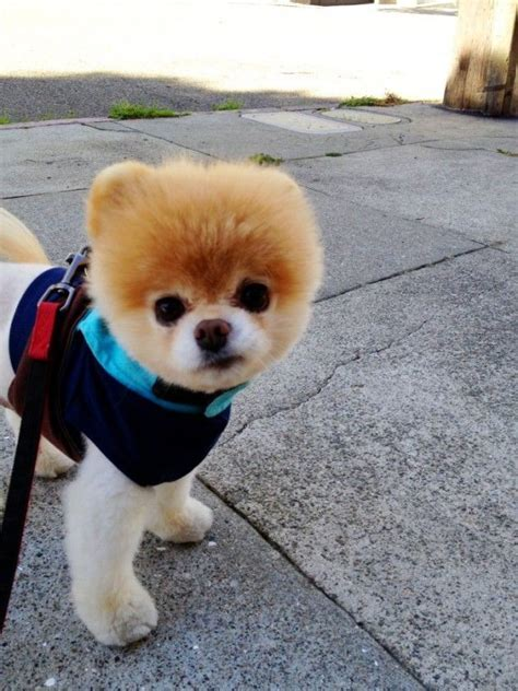 worlds cutest puppy boo the world s cutest animals