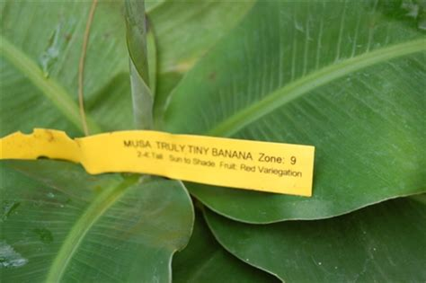 online plant guide musa truly tiny truly tiny banana banana musa truly tiny banana is the smallest edible