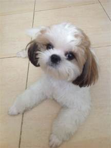 haircuts for shih poo dogs 16 best shih tzu hair cuts images on pinterest shih tzus