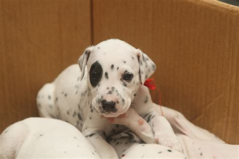 free dalmatian puppies file dalmatian puppy three weeks 9 jpg wikimedia commons