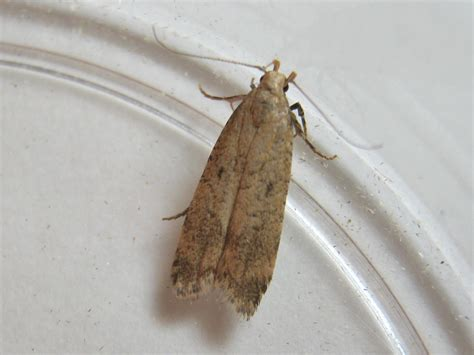 pexicopia malvella hollyhock seed moth norfolk micro