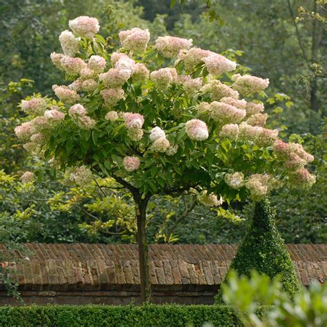 Hortensie Wims by Hydrangea Paniculata Grandiflora White Flower Farm