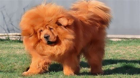 expensive dogs top 10 most expensive breeds in the world facts and benefits