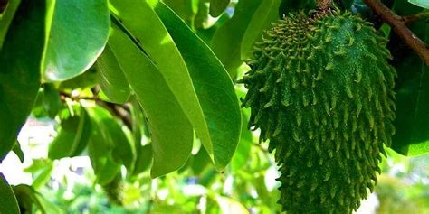 sirsak obat kanker alternatif pengobatan kanker deherbacom