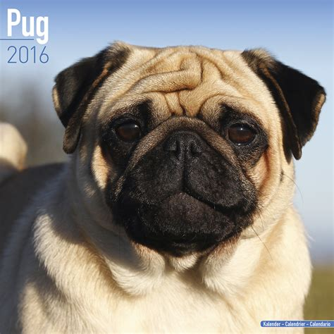 pet pugs pug calendar 2016 pet prints inc