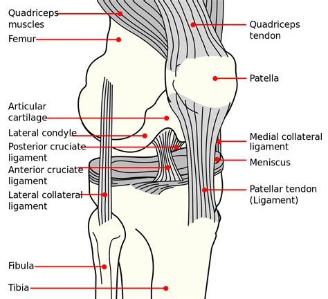 diagram of knee medial collateral ligament