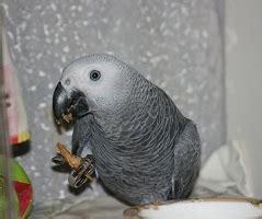 pappagallo cenerino alimentazione cenerino coda rossa il mio pappagallo