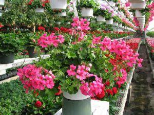 edera coltivazione in vaso geranio edera e geranio parigino consigli coltivazione e