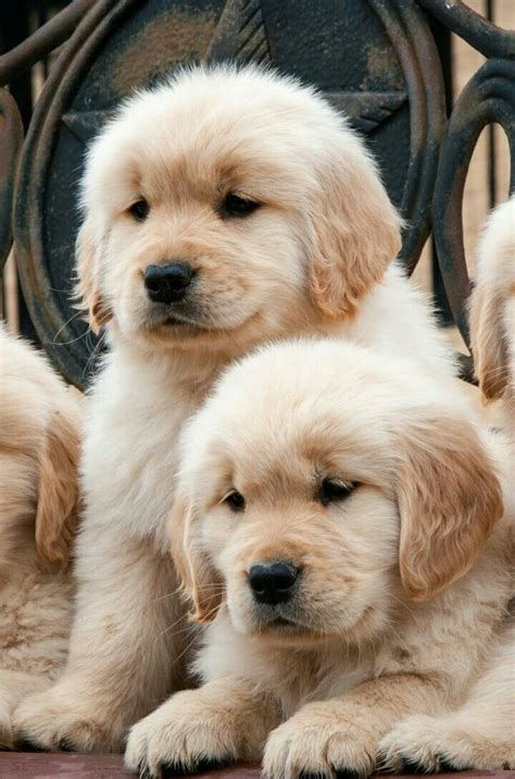 Puppy Golden Retriever 25 best ideas about golden retrievers on