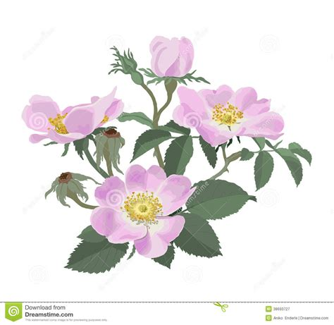 wild roses rosa canina stock vector illustration of