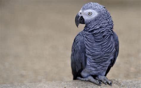 grey wallpaper with birds on african grey parrot bird branch hd wallpaper cool