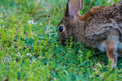 how to get rid of rabbits in your backyard rabbit in garden how to repel garden ftempo