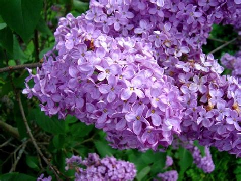 lilacs bush lilac flower purple white lilac flowers