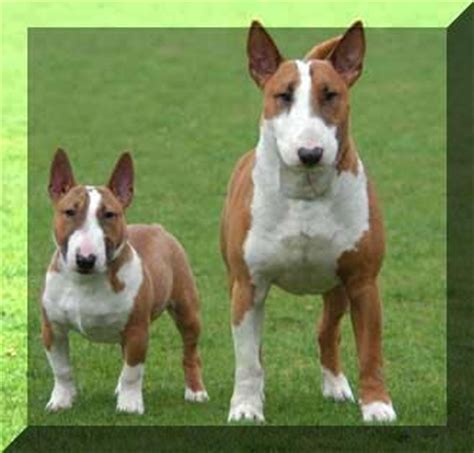 english bull terrier standard miniature 7 best dogs images on pinterest big dogs adorable