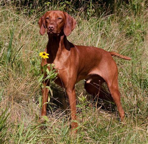 vizsla puppies florida 25 best ideas about rood lab on rode labrador vossenrode labrador en lab