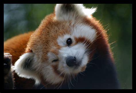read panda mod the sims the endangered redpanda