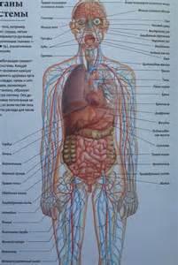 функционирование человеческого организма целостно связано с