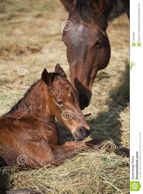 Mare And Newborn Foal Royalty Free Stock Photo - Image ... Horse Background Clipart