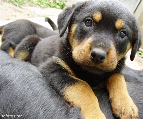 german shepherd puppies tulsa german shepherd mix rottweiler puppies for sale in tulsa kootation picture to pin on