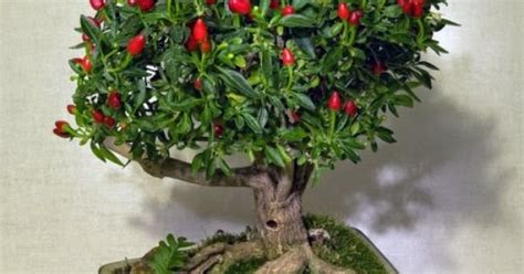 Bibit Cabe bibit cabe hias bonsai cabe peppers bonsai