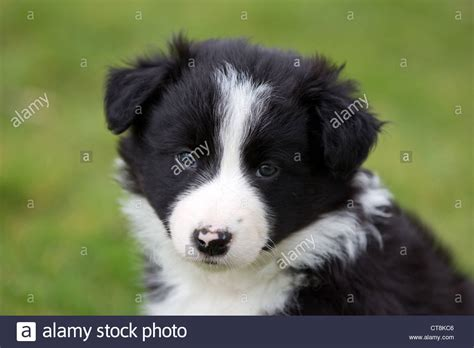 border collie puppies idaho border collie puppies black white puppies stock photo royalty free image 49363334