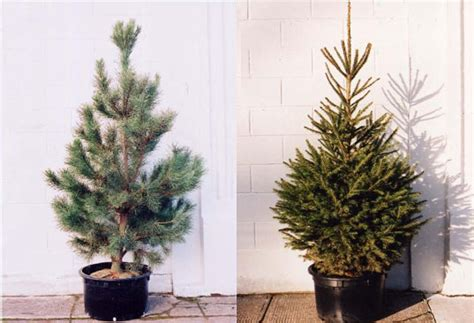 how to recycle your holiday tree potted xmas tree potted